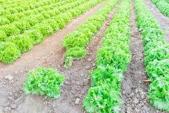 Exploração agrícola da alface pronta para colher em Kent, Washington, EUA foto de stock royalty free