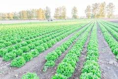 Exploração agrícola da alface pronta para colher em Kent, Washington, EUA imagens de stock royalty free