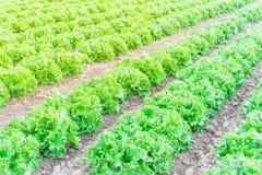 Exploração agrícola da alface pronta para colher em Kent, Washington, EUA fotos de stock
