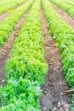 Exploração agrícola da alface pronta para colher em Kent, Washington, EUA imagem de stock
