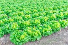 Exploração agrícola da alface pronta para colher em Kent, Washington, EUA imagem de stock royalty free