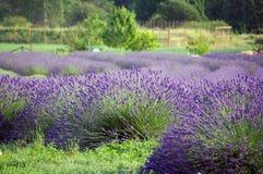 Exploração agrícola da alfazema Imagem de Stock Royalty Free