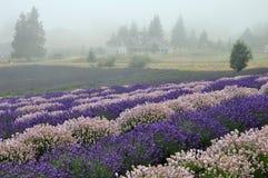 Exploração agrícola da alfazema foto de stock royalty free
