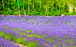 Exploração agrícola da alfazema Fotos de Stock Royalty Free