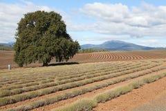 Exploração agrícola da alfazema da propriedade de Bridestowe Imagem de Stock
