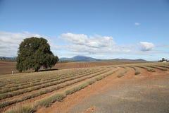 Exploração agrícola da alfazema da propriedade de Bridestowe Fotografia de Stock