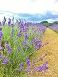 Exploração agrícola da alfazema de Mayfield no verão Guildford, Reino Unido Imagem de Stock