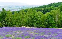 Exploração agrícola da alfazema no verão Fotos de Stock Royalty Free