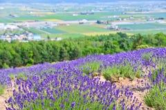 Exploração agrícola da alfazema no verão Imagem de Stock Royalty Free