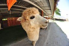 Exploração agrícola da alpaca Imagem de Stock Royalty Free