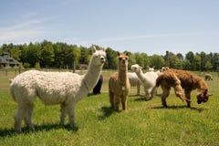Exploração agrícola da alpaca Fotografia de Stock