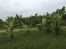 Exploração agrícola da banana imagem de stock