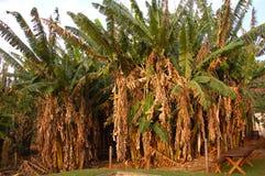 Exploração agrícola da banana. Fotos de Stock Royalty Free
