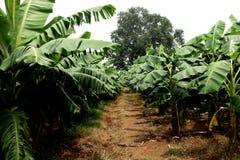 Exploração agrícola da banana Foto de Stock Royalty Free