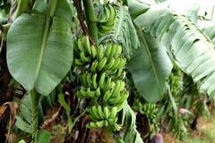 Exploração agrícola da banana Foto de Stock