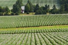 Exploração agrícola da batata Imagem de Stock