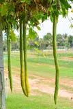 Exploração agrícola da cabaça Fotografia de Stock