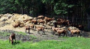 Exploração agrícola da cabra Imagem de Stock Royalty Free