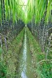 Exploração agrícola da cana-de-açúcar Foto de Stock