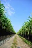Exploração agrícola da cana-de-açúcar foto de stock royalty free