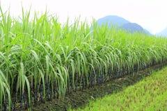 Exploração agrícola da cana-de-açúcar fotos de stock royalty free