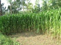 EXPLORAÇÃO AGRÍCOLA DA CANA-DE-AÇÚCAR EM MEERUT, ÍNDIA Foto de Stock Royalty Free