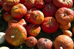 Exploração agrícola da colheita das abóboras de Dia das Bruxas Imagens de Stock Royalty Free