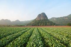 Exploração agrícola da couve, Kanchanaburi, Tailândia Imagens de Stock Royalty Free