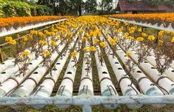 Exploração agrícola da flor da hidroponia Imagem de Stock