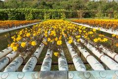 Exploração agrícola da flor da hidroponia Imagem de Stock Royalty Free