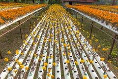 Exploração agrícola da flor da hidroponia Imagens de Stock Royalty Free