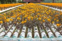 Exploração agrícola da flor da hidroponia Imagens de Stock