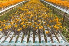 Exploração agrícola da flor da hidroponia Fotografia de Stock