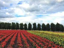 Exploração agrícola da flor no Hokkaido Foto de Stock