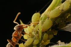 Exploração agrícola da formiga Fotografia de Stock