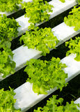 Exploração agrícola da hidroponia Imagens de Stock Royalty Free