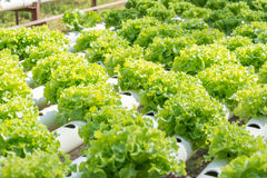 Exploração agrícola da hidroponia dos vegetais Imagens de Stock