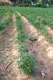 Exploração agrícola da mandioca Fotos de Stock Royalty Free