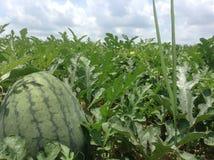 Exploração agrícola da melancia Fotografia de Stock Royalty Free