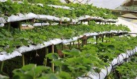 Exploração agrícola da morango Fotos de Stock Royalty Free