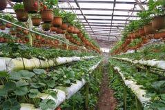 Exploração agrícola da morango Imagem de Stock Royalty Free