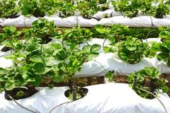 Exploração agrícola da morango. Imagem de Stock Royalty Free
