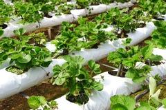 Exploração agrícola da morango. Imagens de Stock