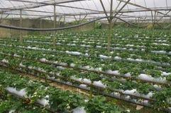 Exploração agrícola da morango Fotos de Stock