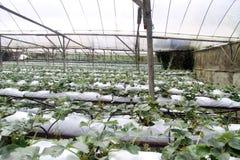 Exploração agrícola da morango Imagens de Stock