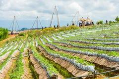 Exploração agrícola da morango com sistema de irrigação do gotejamento e muitos turistas no monte Fotos de Stock Royalty Free