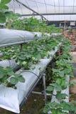 Exploração agrícola da morango em Cameron Highland Malaysia Imagens de Stock