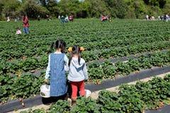 Exploração agrícola da morango na exploração agrícola da morango de Froberg na cidade de Alvin, Texas Fotografia de Stock
