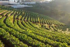 Exploração agrícola da morango na manhã imagens de stock royalty free