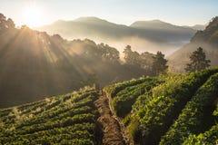 Exploração agrícola da morango na manhã fotos de stock royalty free